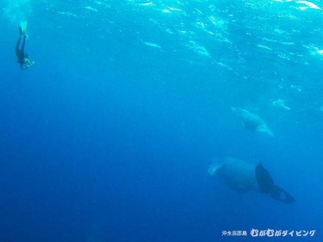 親子クジラ 貴重なシャッターチャンス