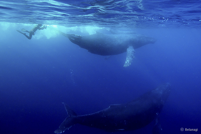 ザトウクジラの画像 p1_28