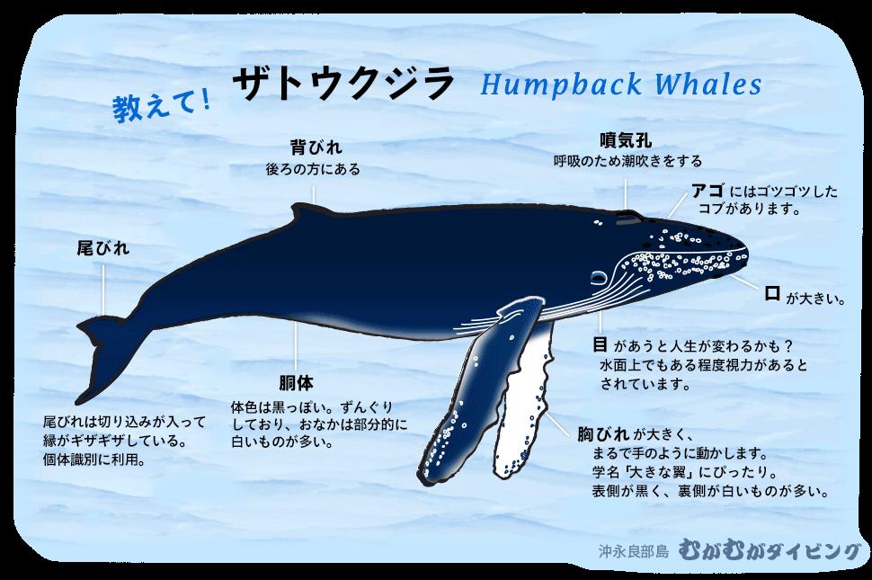ザトウクジラの画像 p1_32